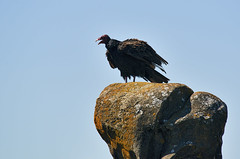 Turkey Vulture on Boulder (mysticislandphoto) Tags: wildlife bird vulture turkey vancouver island