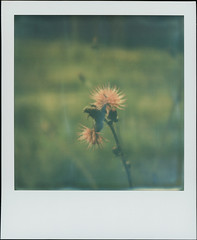 In The Spruce Forest 8 (sycamoretrees) Tags: 600 analog beta color600 color600201603 film flower forest impossible instantfilm integral integralfilm marianrainerharbach polaroid slr680 spruce
