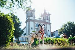 Pitia pose (Leo Hidalgo (@yompyz)) Tags: canon eos 6d dslr reflex yompyz ileohidalgo fotografía photography vsco portugal travel dog perro animal dalmatian dálmata