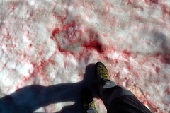 Scene of the Crime? (Dru!) Tags: devilsrange chlamydomonas nivalis red snow watermelon algae valhalla valhallas bloodsoaked summer alpine valhallaprovincialpark slocan kootenay kootenays westkootenays