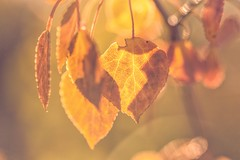 Sweet-breathing emptiness (Tracey Rennie) Tags: leaves macro fall autumn gold yellow rumi foliage sliderssunday