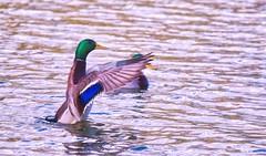 Leading the Chior (robinlamb1) Tags: bird animal nature duck mallard drake stretching outdoor brydonlagoon langley greenhead aquaticbird wings