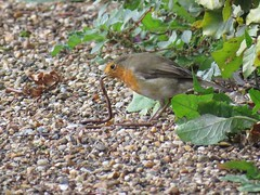 Beautiful little hungry robin with a worm  (nina1688) Tags: beautiful robinredbreast robin hungry eating suffolk burystedmunds bird birds cute nature wildlife wildbird worm tame littlebird photo myphoto photography loveit lovebirds