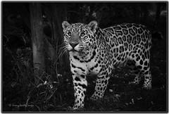 Sophia Jaguar (jdl1963) Tags: wildlife heritage foundation smarden kent big cat feline mammal carnivore bigcat sophia jaguar