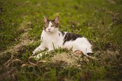 Ralph (Michael Mendonca) Tags: orlando cat ralph fun backyard animal pet florida fall grass fence tree brown warmth happy kitten fluffy fur baby