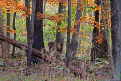 Fall in Loudoun County, Virginia (webmastermama71) Tags: fall autumn woods forest deer leaves changingleaves fallingleaves virginia loudouncounty leesburg