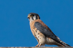 A Mighty Predator in a Mini Package (MelRoseJ) Tags: lodi california unitedstates woodbridgeecologicalreserve americankestrel birds a77ii alpha autofocus sonyalpha sal70400g sony sonyilca77m2 nature