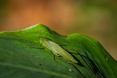 Winter is coming (joebrantleyjr) Tags: katydid green