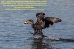 It's mine - all mine!! (Linda Martin Photography) Tags: birds blashfordlakes cormorant fishing nature phalacrocoraxcarbo hampshire wildlife uk perch coth ngc