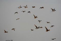 Surtido de Patos (Enllasez - Enric LLa) Tags: patos anades aves aus bird ocells pjaros