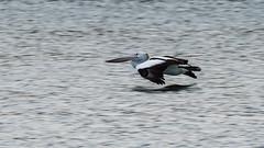 Australian Pelican (Merrillie) Tags: woywoy nature water pelican outdoor nswcentralcoast newsouthwales nsw wildlife monochrome australia centralcoastnsw photography blackandwhite outdoors animals fauna centralcoast birds