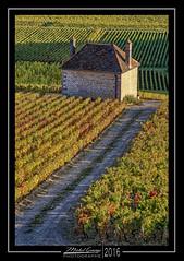 Clos Saint-Jacques 1 (mg photographe) Tags: vignes gevrey bourgogne dore gold cte raisin burgundy chambertin