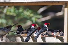 Lots of cardinals at the feeder! (Tambako the Jaguar) Tags: cardinal many birdfeeder wood eating black red white bird wildanimal wild wildlife nature pantanal matogrosso brazil nikon d5