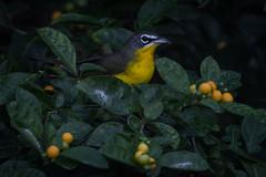 Risk/Reward (gseloff) Tags: bird wildlife migrant feeding berries horsepenbayou pasadena texas kayakphotography gseloff yellowbreastedchat