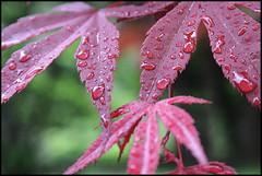 Acero sotto la pioggia (ninin 50) Tags: acero gocce drops ilmiogiardino nature ninin
