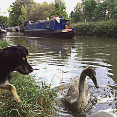 Gizzus a kiz..!!! (Joel Bybee) Tags: picsplay cygnet swan susie dog