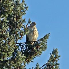 Red-Tailed Hawk (Le Monsieur de le Coin Bureau) Tags: wildlife nature wayne newjersey nj hawk bird