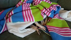 Snug as a bug in a rug (heackersgirl) Tags: sleeping dog pet chihuahua couch lazy covered blanket relaxed snug