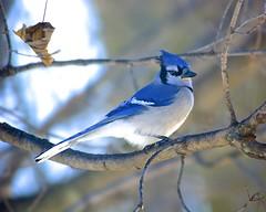 Blue Jay (wplynn) Tags: blue jay indianapolis indiana castleton cyanocitta corvidae cristata