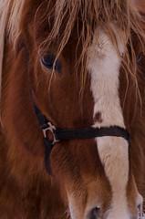 Cheval brun 2 (turgeon.johanne) Tags: horse animal cheval ferme chevaux jument bte talon