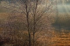 Bjrk i desember (Arnt Kvinnesland) Tags: winter naturaleza nature norway vinter atmosphere silence birch desember dis trr myr stille bjrk stemning bygnes vinterstemning lvtrr lvtre mildvr karmysflora myrkant