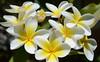 DSC_2677 Frangipani, Adelaide, South Australia (johnjennings995) Tags: flowers white flower yellow frangipani adelaide southaustralia soe bej