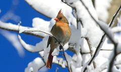 Northern Cardinal (wvsawwhet) Tags: red bird birds cardinal birding wv westvirginia birdwatching redbird northerncardinal westvirginiabirds birdsofwestvirginia