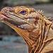 Iguana Profile (free to download)