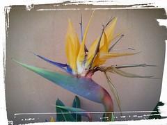 Strelitzia reginae (Landahlauts) Tags: flower fleur andalucía europe flor jardin bloom plantae andalusia blume subtropical fiore andalusien andalousie andalusie andaluz almuñecar strelitzia almunecar andaluzia comarca avedelparaiso الأندلس liliopsida magnoliophyta zingiberales zingiberidae strelitziareginae costatropical グラナダ andaluzja andaluzio 安達魯西亞 costagranadina アンダルシア אנדלוסיה 安達魯西亞自治區 アンダルシア州 منطقةحكمذاتيالأندلس اندلس منطقةالأندلسذاتيةالحكم ანდალუსია 안달루시아지방 แคว้นอันดาลูเซีย андалусия ανδαλουσία андалузија comarcadelacostagranadina κοιμητήριον 安达卢西亚 comarcadelacostatropical sreginae rizomatosa أندلوسيا আন্দালুসিয়া flordelavedelparaiso andalouzia andalusiya اندلوسيا андалусія андалуси 安達盧西亞 herbace strelitziacaeae carlotademecklenbugostrelitz jorgeiiideinglaterra costatropicalgranadina