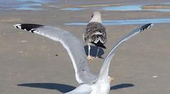 Gaivota prateada (Larus argentatus)-10 (Luis.Mota) Tags: gull gaivota larus argentatus prateada