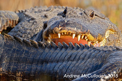 Gators! (Let there be light (A.J. McCullough)) Tags: texas gator brazosbend