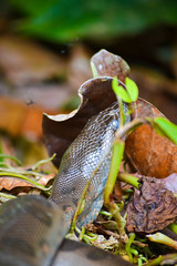 Baby Anoconda, Ecuador (soysimonholmes) Tags: ecuador amazon selva 55200mm nikond3100