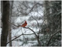 Cardinal - State Bird In The State Tree (sorrellbruce) Tags: snow birds fuji cardinal snowstorm stateflower statetree statebird fairfaxstationva colorefexpro simplysuperb capturenx2 lightroom5 fujixt1