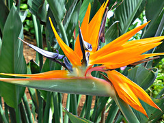 bird of paradise (kenjet) Tags: orange plant flower color beautiful island hawaii stem flora colorful kauai bloom