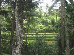 Rice Paddies near the Tomb