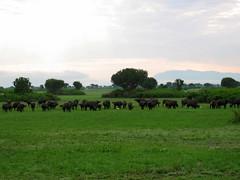 Buffalo Herd Queen Elizabeth Park Uganda