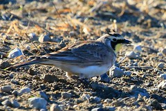 horned lark male near Lime Springs IA 854A4008 (lreis_naturalist) Tags: county male howard reis iowa larry springs lime lark horned