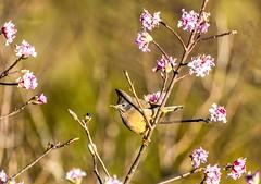 Yellow-browed Tit Sylviparus !! (sandy_photo) Tags: india bird birding westbengal tumling coaltitparusater easternhimalaya yellowbrowedtitsylviparusmodestusmodestus shingalilareserveforest