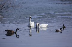 Buddies (Mercenaryhawk) Tags: white lake 3 canada cold bird ice water minnesota birds canon eos geese duck spring swan mark iii ducks goose 300mm swans 5d waterfowl mn minnetonka minnehaha headwaters f56l