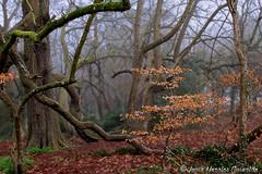 Colores del Invierno, Winter Colors (Luca Morales Guinaldo) Tags: wood winter mist colors fog colores bosque invierno