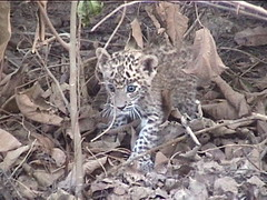 Baby Leopard on the Prowl
