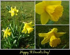 Allt-yr-yn Daffodils (Dave Roberts3) Tags: flower macro yellow collage wales mosaic cymru newport daffodil gwent narcissus citrit alltyryn picmonkey