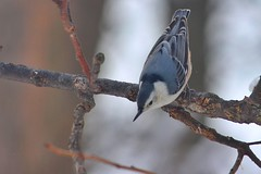 White Breasted Nuthatch (Moschell) Tags: winter snow nature birds march backyard local nuthatch in 2015 moschell
