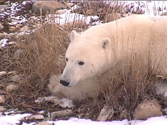 Polar Bear Churchill 3