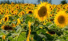 girassol (antonioigor) Tags: argentina amarelo sunflowers girassol semente sementedegirassol óleodegirassol pampaargentino canon70d antonioigor