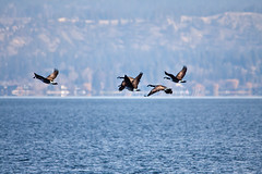 Follow the Leader 13 (LongInt57) Tags: blue brown white canada black nature water birds landscape flying geese wings bc action okanagan wildlife lakes goose