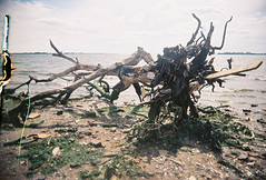 Garbage Tree at Dead Horse Bay (DoubleBen) Tags: superheadz wide slim japanese camera plastic toy film 35mm fuji 400 fujifilm angle lens 22mm deadhorse bay nyc tree garbage beach
