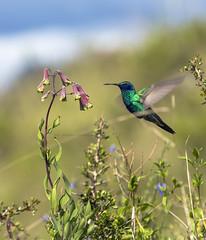 Beautiful Hummingbird Moray (Rob Whittaker Photography) Tags: ca travel peru southamerica nature inca canon c cusco hummingbirds canoneos animalplanet moray maras colibri canoneos5d canonphotography picaflores canoneos5dmkiii sazzoo robwhittaker sazzoocom