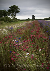 Cornflowers (JayBeee2) Tags: cornflowers wick pershore worcestershire the real flower confetti company