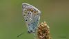 Bläuling (Oerliuschi) Tags: butterfly makroaufnahme stacking falter lycaenidae bläuling fluginsekt heliconfocus olympusm60 lumixgx8